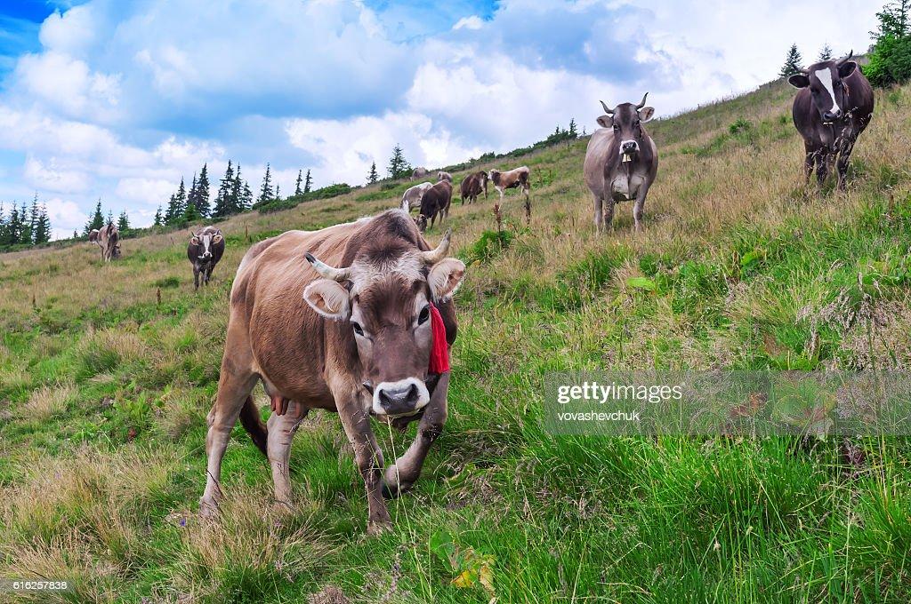 herd of cows : Stock Photo