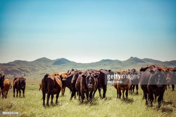 besättningen av kor. - biffkor bildbanksfoton och bilder