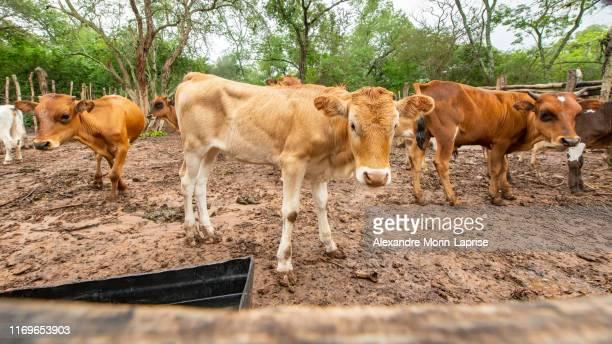 herd of cows walking through the countryside in bolivian chaco - bolivia fotografías e imágenes de stock