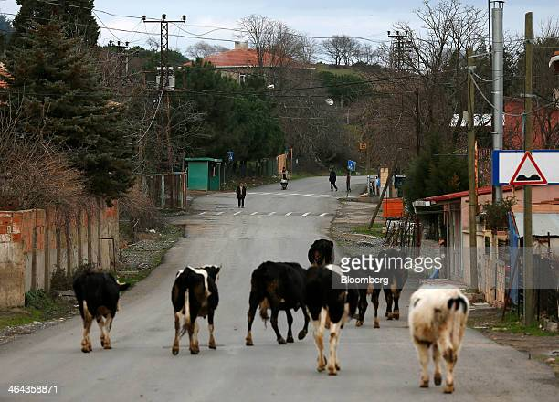 A herd of cows walks along a road in a village near the projected site for the development of Istanbul's third airport in Agacli Turkey on Wednesday...