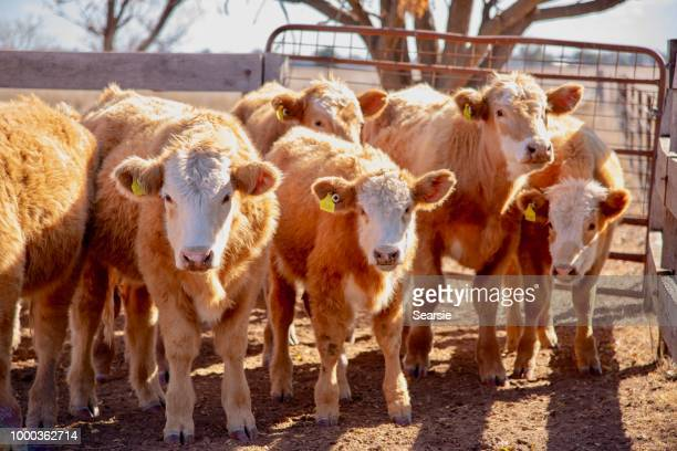 herd of cute grass fed beef cattle steers being loaded from stock yard onto truck - cattle stock pictures, royalty-free photos & images