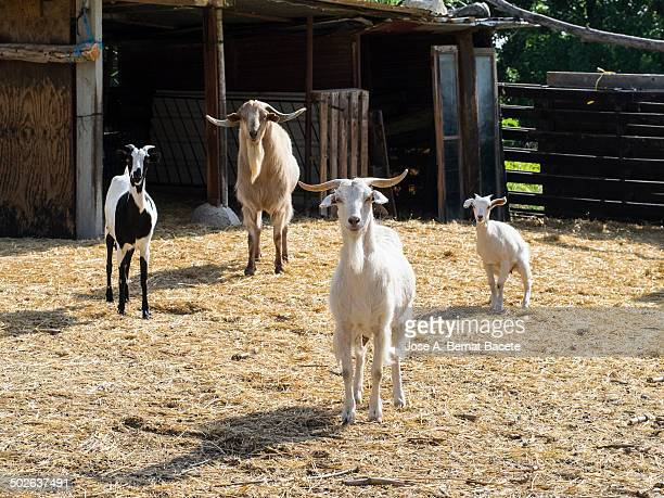 Herd of dairy goats locked in the corral