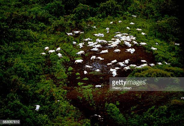 A herd of dead cattle is seen in a forest clearing near Wum Cameroon following the release of toxic gas from Lake Nyos In August of 1986 the lake...