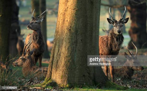 Herd of deer are pictured in Richmond Park on March 27, 2020 in London, England. The royal parks have remained open as the Coronavirus pandemic has...