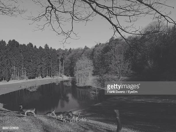 herd of deer at lakeshore against sky - frank swertz stockfoto's en -beelden