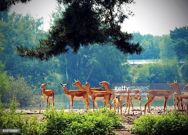 Herd Of Deer At Lakeshore In Forest