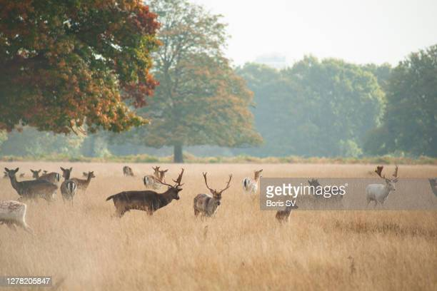 herd of deer in bushy park, united kingdom - boris stock pictures, royalty-free photos & images