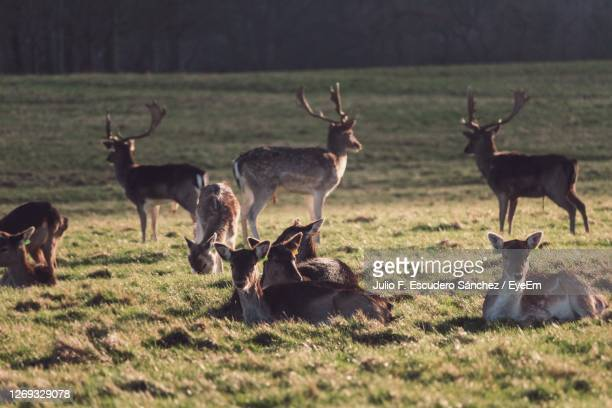 herd of deer on field - medium group of animals stock pictures, royalty-free photos & images