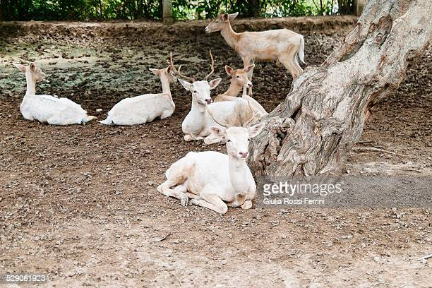 herd of deer - thailandia stock photos and pictures