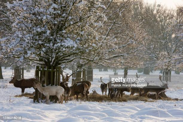 Herd of deer with antlers in Bushy Park near Hampton Court Palace during the largest snowfall in London in eighteen years on 2nd February 2009.