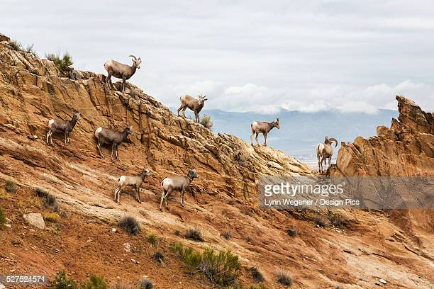 A herd of desert Bighorn sheep (Ovis canadensis) ewes and rams standing on a rocky hillside in the Colorado National Monument in autumn