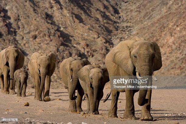 herd of desert-dwelling elephants loxodonta africana africana, namibia, africa - desert elephant stock pictures, royalty-free photos & images