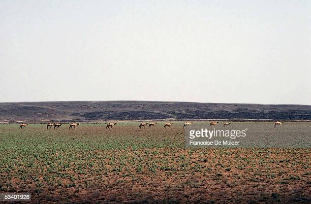 Herd of dromedaries in the Ethiopian savanna On 1990 FDM21513