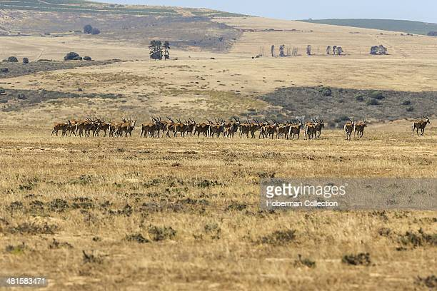 Herd Of Eland Antelope Running Across The Planes And Fields Of Grass At The Etosha National Park In Namibia
