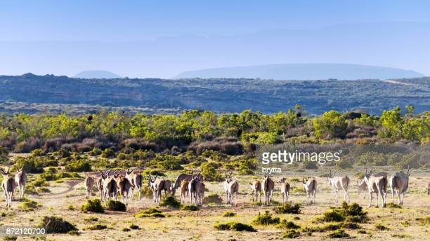 herd of eland in the cederberg wilderness area in south africa - wilderness area stock pictures, royalty-free photos & images