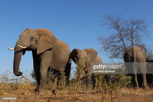 Herd of elephants at the Mashatu game reserve on July 26, 2010 in Mapungubwe, Botswana. Mashatu is a 46,000 hectare reserve located in Eastern...