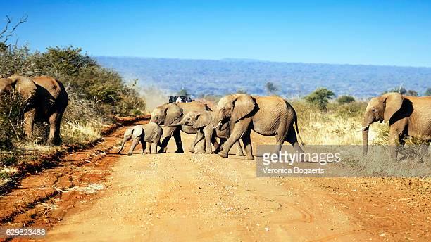 Herd of elephants  crossing the road, Madikwe,South Africa