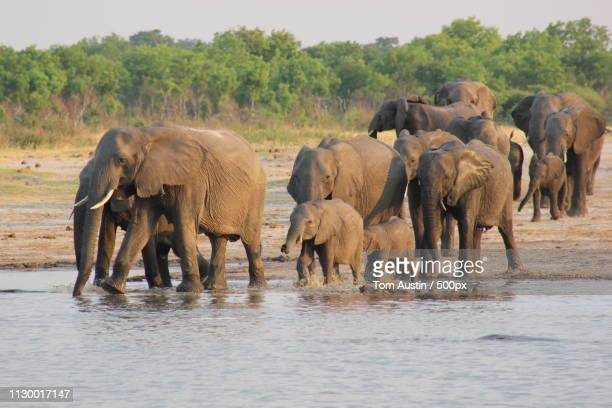 herd of elephants drinking from waterhole - zimbabwe fotografías e imágenes de stock