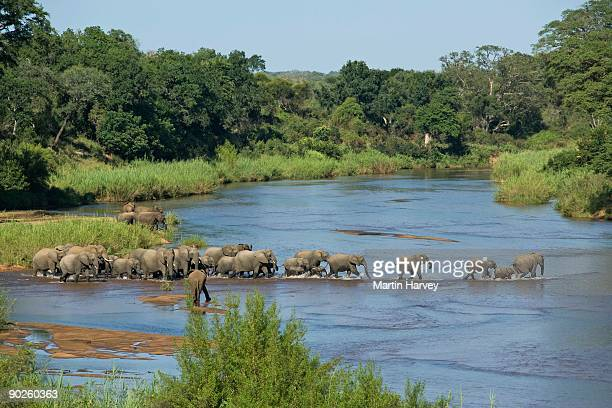 herd of elephants fording river, kruger national park, south africa - kruger national park stock pictures, royalty-free photos & images