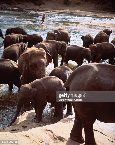 Herd of Elephants in Lake