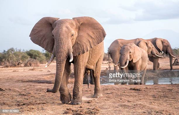 Herd of Elephants in Selankay consevancy Kenya.