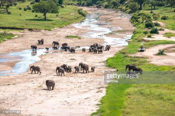herde der elefanten im tarangire nationalpark - großwild stock-fotos und bilder