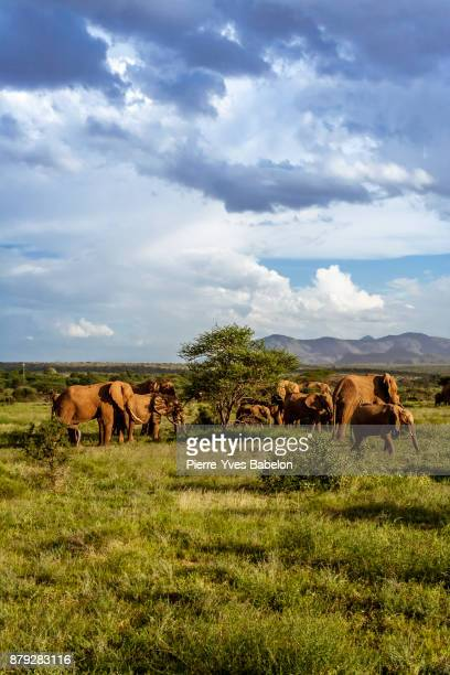 herd of elephants in the african savannah - safari animals stock pictures, royalty-free photos & images