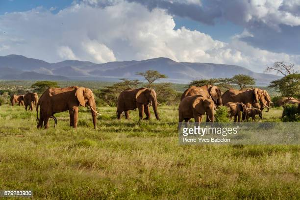herd of elephants in the african savannah - republik südafrika stock-fotos und bilder