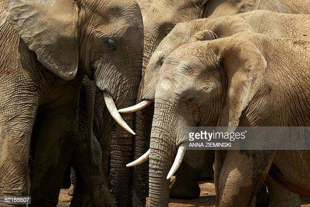 A herd of elephants is pictured at a watering hole in the Addo Elephant National Park about 50 kms outside Port Elizabeth 05 February 2005 Billed as...