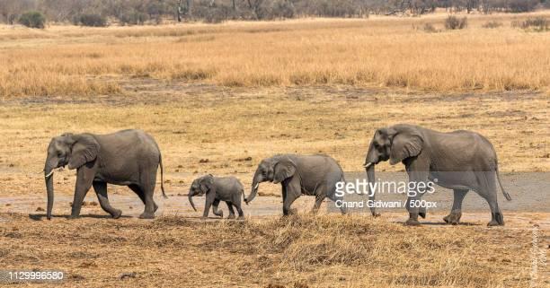 herd of elephants - quatre animaux photos et images de collection