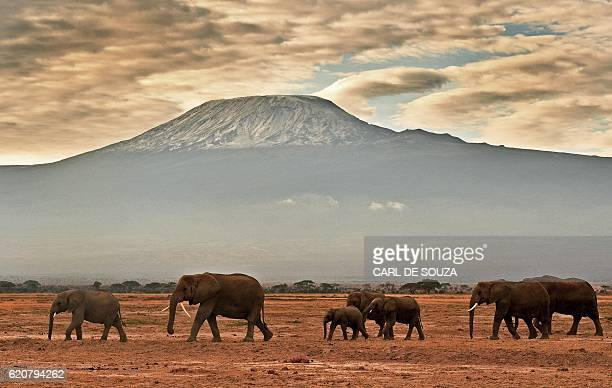 A herd of elephants walk in front of Mount Kilimanjaro in Amboseli National Park on November 3 2016 / AFP / CARL DE SOUZA