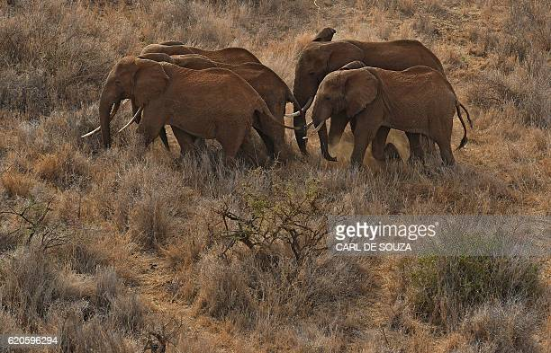 A herd of elephants walk outside the Amboseli National Park on November 2 2016 The International Fund for Animal Welfare is collaring two young male...