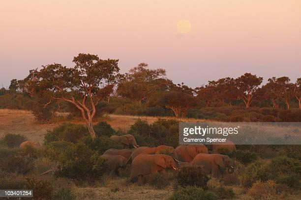Herd of elephants walk together at dusk in the Mashatu game reserve on July 25, 2010 in Mapungubwe, Botswana. Mashatu is a 46,000 hectare reserve...