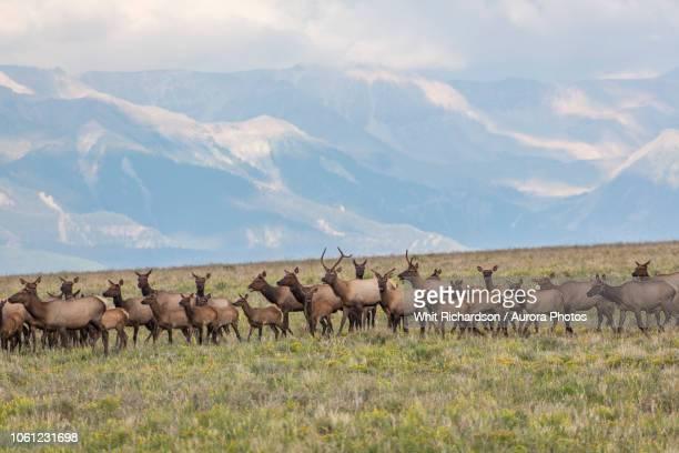 herd of elk in field in mountains, specie mesa, colorado, usa - wapiti foto e immagini stock