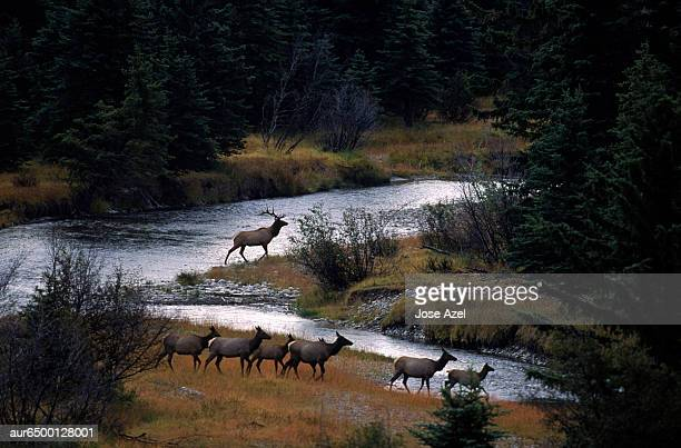 herd of elk, snake river, grand teton national park, wyoming, usa. - riverbank stock pictures, royalty-free photos & images