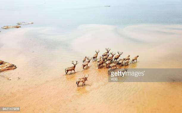 A herd of elks gallop at Poyang Lake Wetland Park on April 3 2018 in Nanchang Jiangxi Province of China 47 rare elks have been released into the wild...
