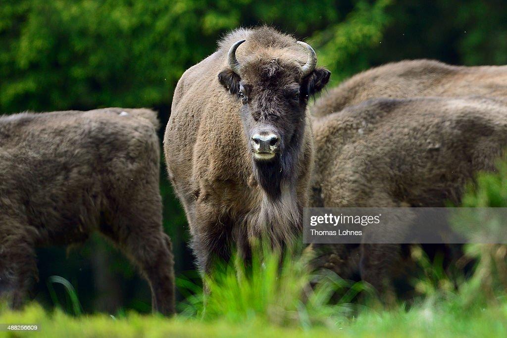 European Bison Project Seeks A Return To The Wild : Photo d'actualité