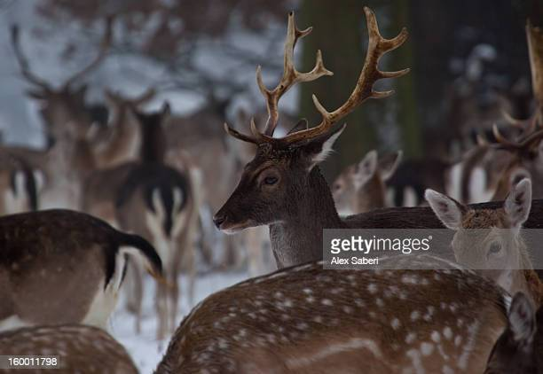 a herd of fallow deer, dama dama, huddles together in winter. - alex saberi stock pictures, royalty-free photos & images
