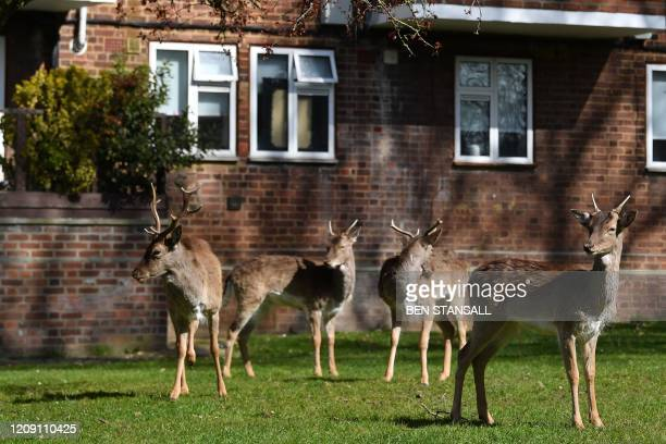 A herd of fallow deer graze on the lawns in front of a housing estate in Harold Hill in east London on April 4 as nature takes advantage of life in...