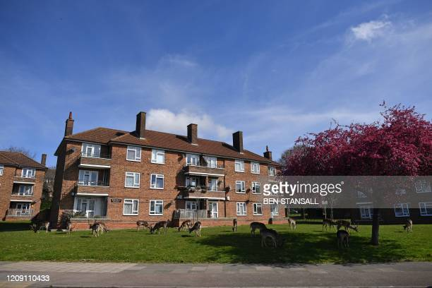 Herd of fallow deer graze on the lawns in front of a housing estate in Harold Hill in east London on April 4 as nature takes advantage of life in...