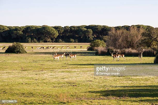 herd of fallow deer in doñana national park - donana national park stock photos and pictures
