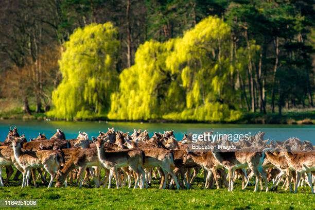 Herd of Fallow deer next to Holkham park lake, Holkham Hall, North Norfolk, East Anglia, England, UK.