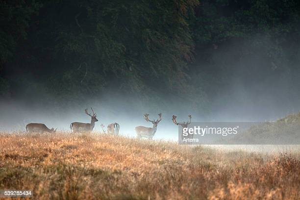 Herd of Fallow deer stags in the mist at forest edge in autumn during the rutting season