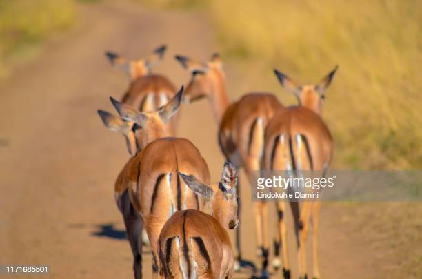 herd of female oribi (ourebia ourebi) walking at tala private game reserve south africa - pietermaritzburg stock pictures, royalty-free photos & images