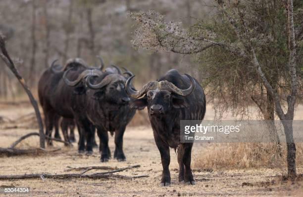 Herd of four African Cape buffalos GrumetiTanzania East Africa