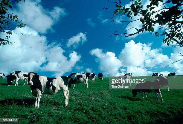 A herd of Friesian cows grazing in a pasture in Helford country Cornwall England United Kingdom