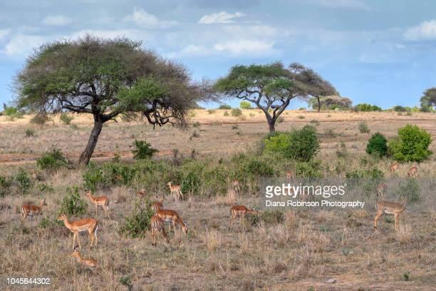 herd of gazelles under acacia trees in tarangire national park, tanzania, east africa - tarangire national park stock pictures, royalty-free photos & images
