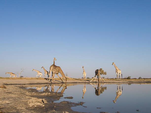 Herd of Giraffe at Water Hole, Botswana