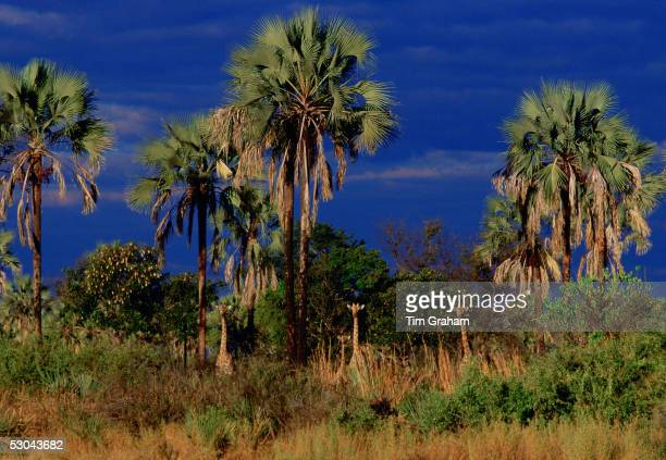 Herd of giraffes well camouflaged and peering from their hiding place among the palm trees and shrubs Moremi National Park Botswana Southern Africa