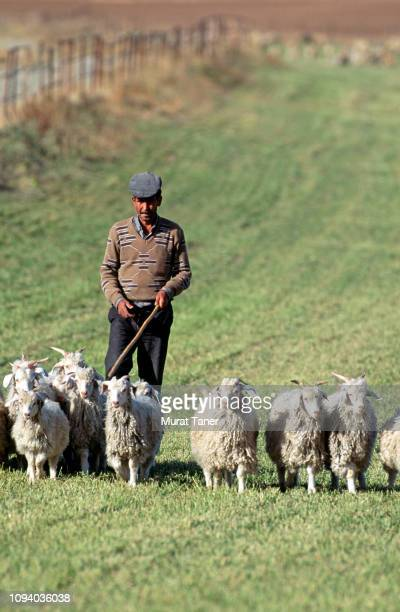 Herd of goat in Central Anatolia